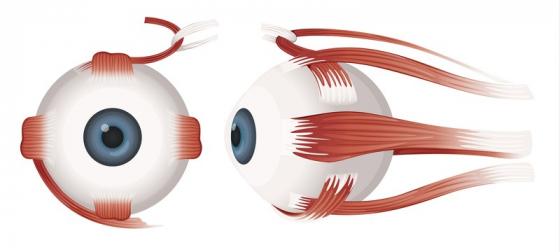 Le fonctionnement des yeux - muscles extra-oculaires